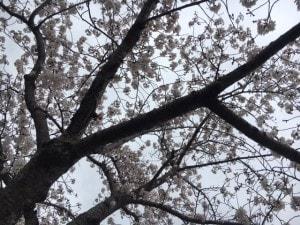2016花見4