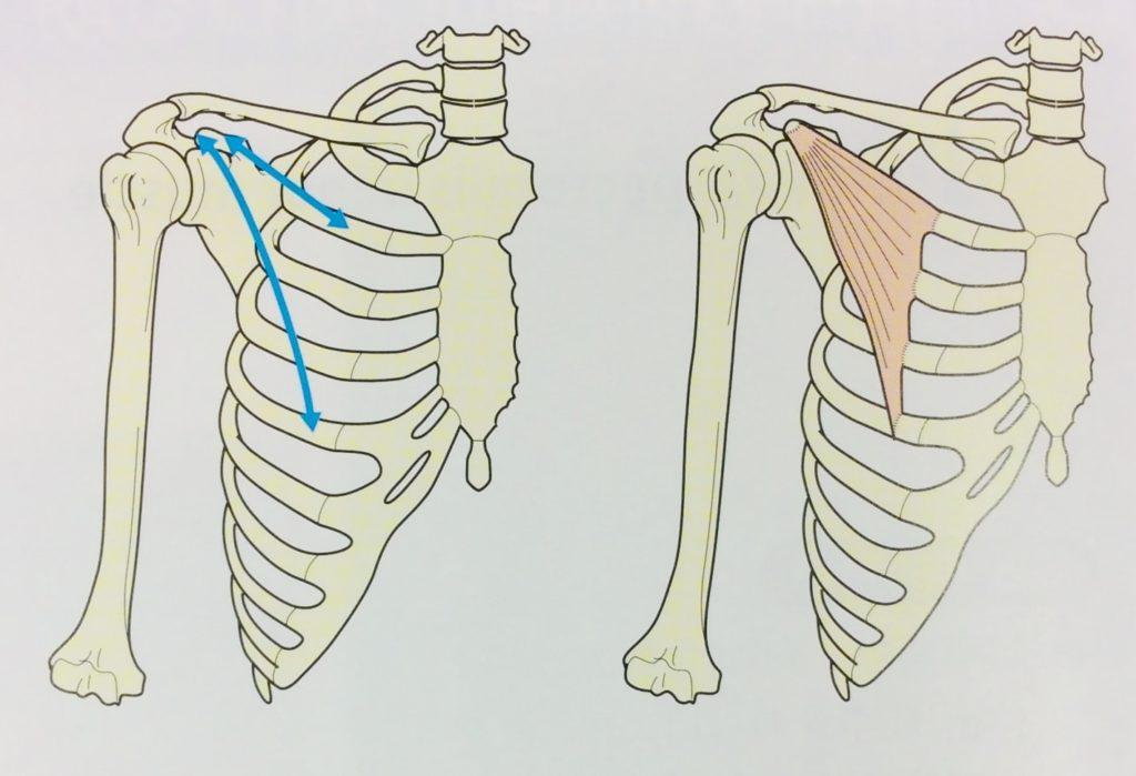整体ストレッチ 小胸筋1