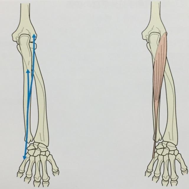 整体ストレッチ 尺側手根伸筋1