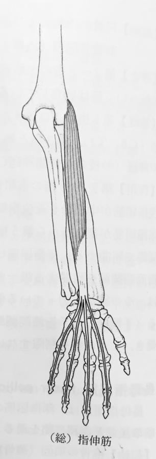 整体ストレッチ 総指伸筋1